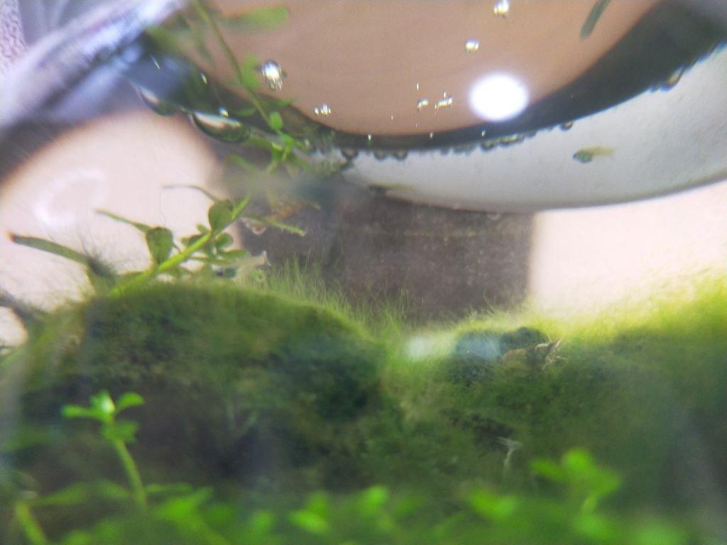 ランプアイの赤ちゃん水槽2