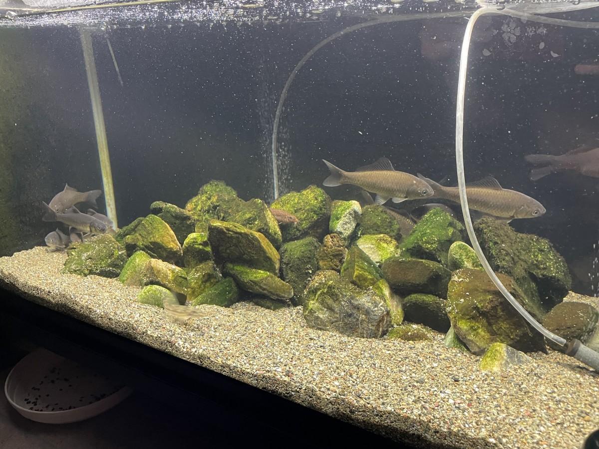 水槽飼育のギンブナ産卵4