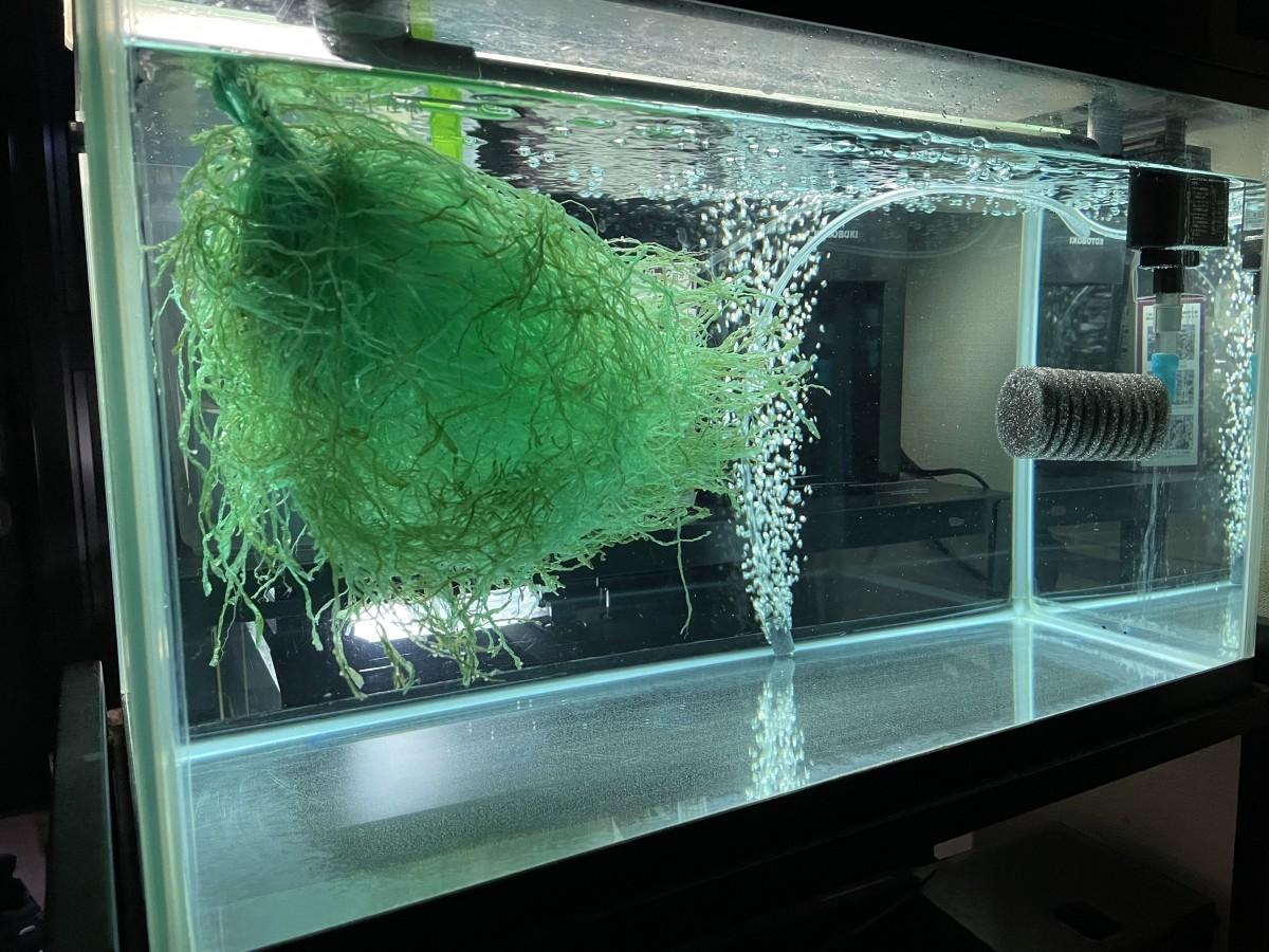 水槽飼育のギンブナ産卵1