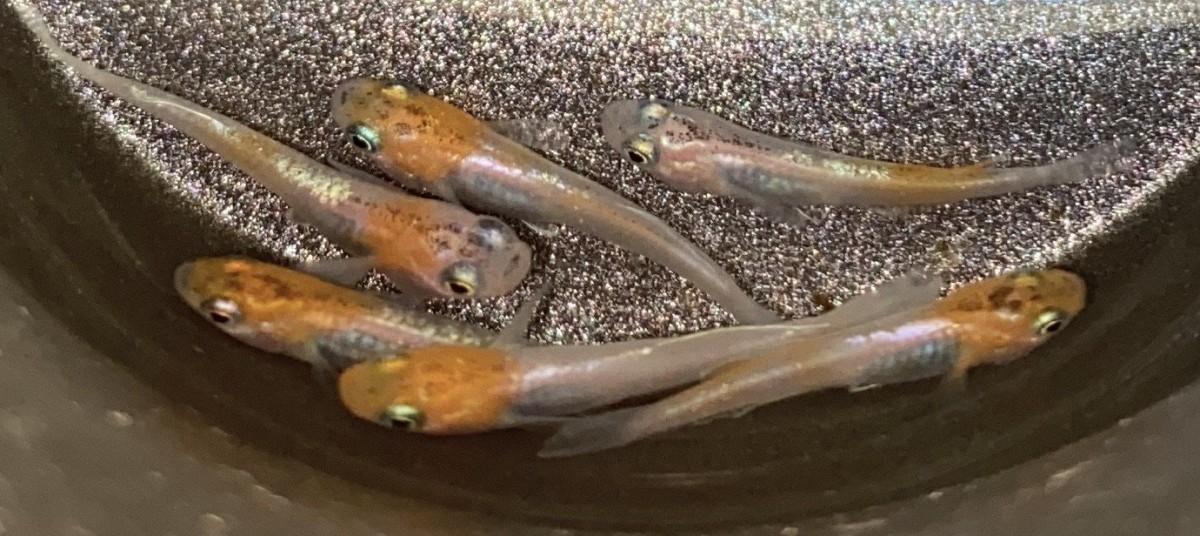 三色ラメ体外光 若魚 2