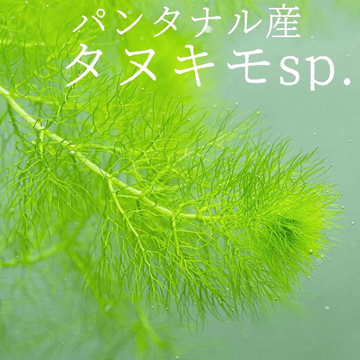 【今だけ1本おまけ】タヌキモsp.パンタナル産1