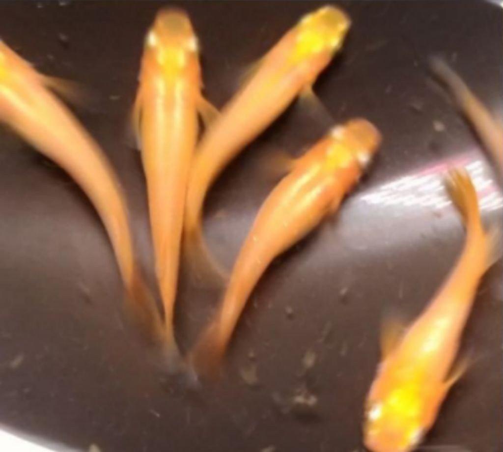 楊貴妃メダカの卵30個+1
