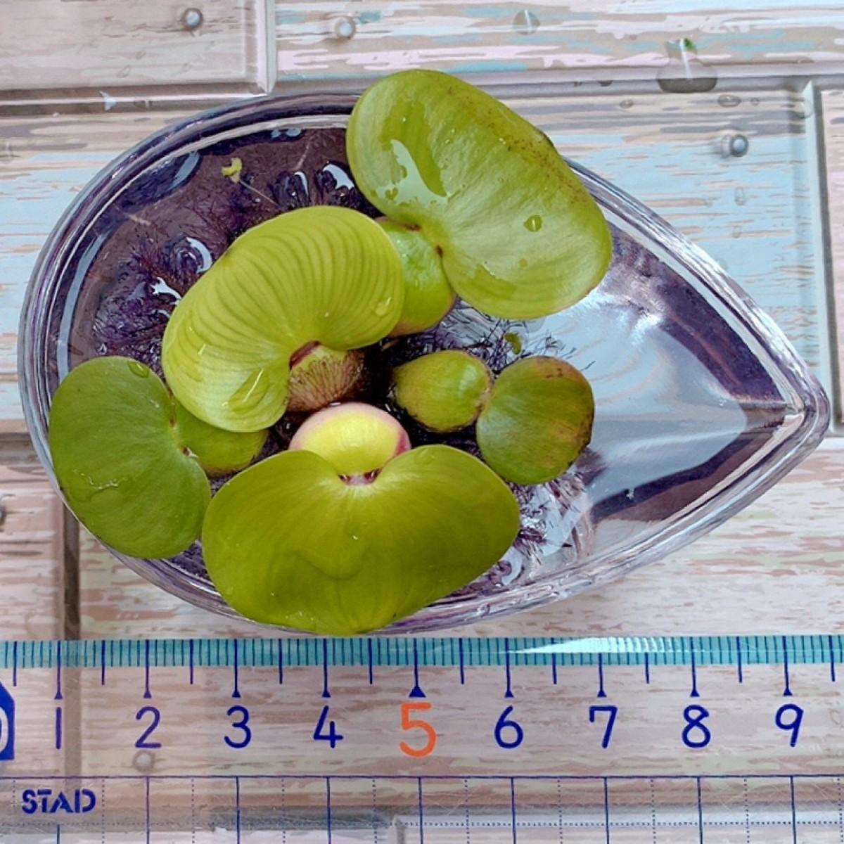 【期間限定 増量】浮草5種セット 無農薬 ホテイアオイ フロッグピット 水草 2