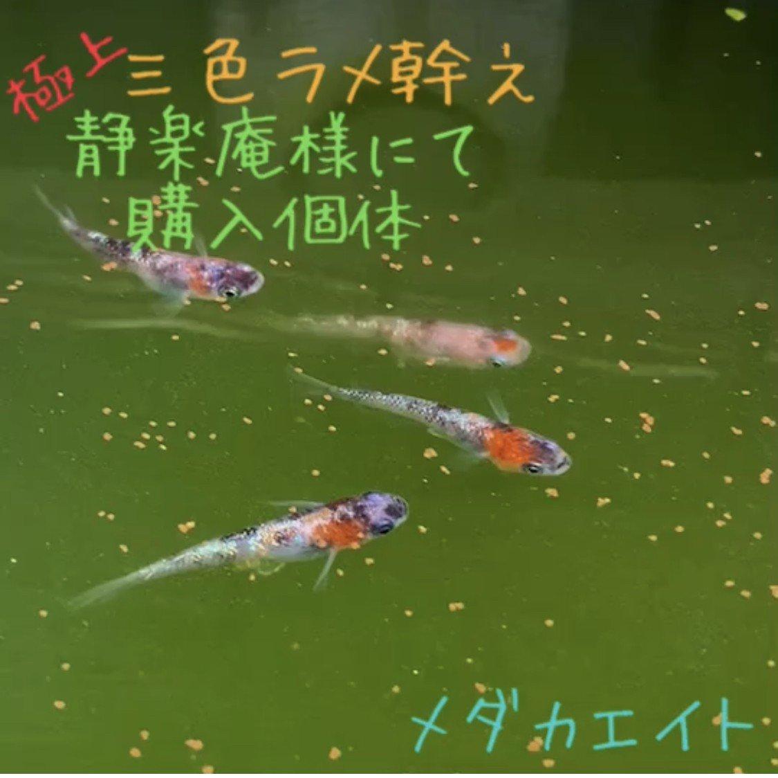 【メダカエイト】極上 三色ラメ幹之 メダカ 体外光タイプ 有精卵 10個+α 静楽庵様直接購入個体1