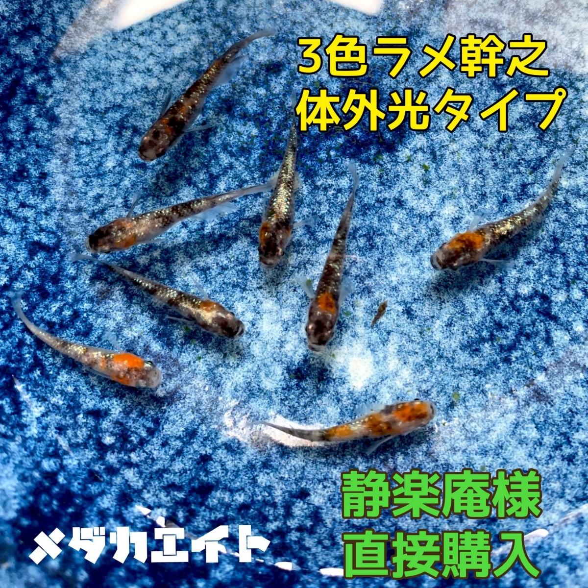 【メダカエイト】極上 三色ラメ幹之 メダカ 体外光タイプ 有精卵 10個+α 静楽庵様直接購入個体2