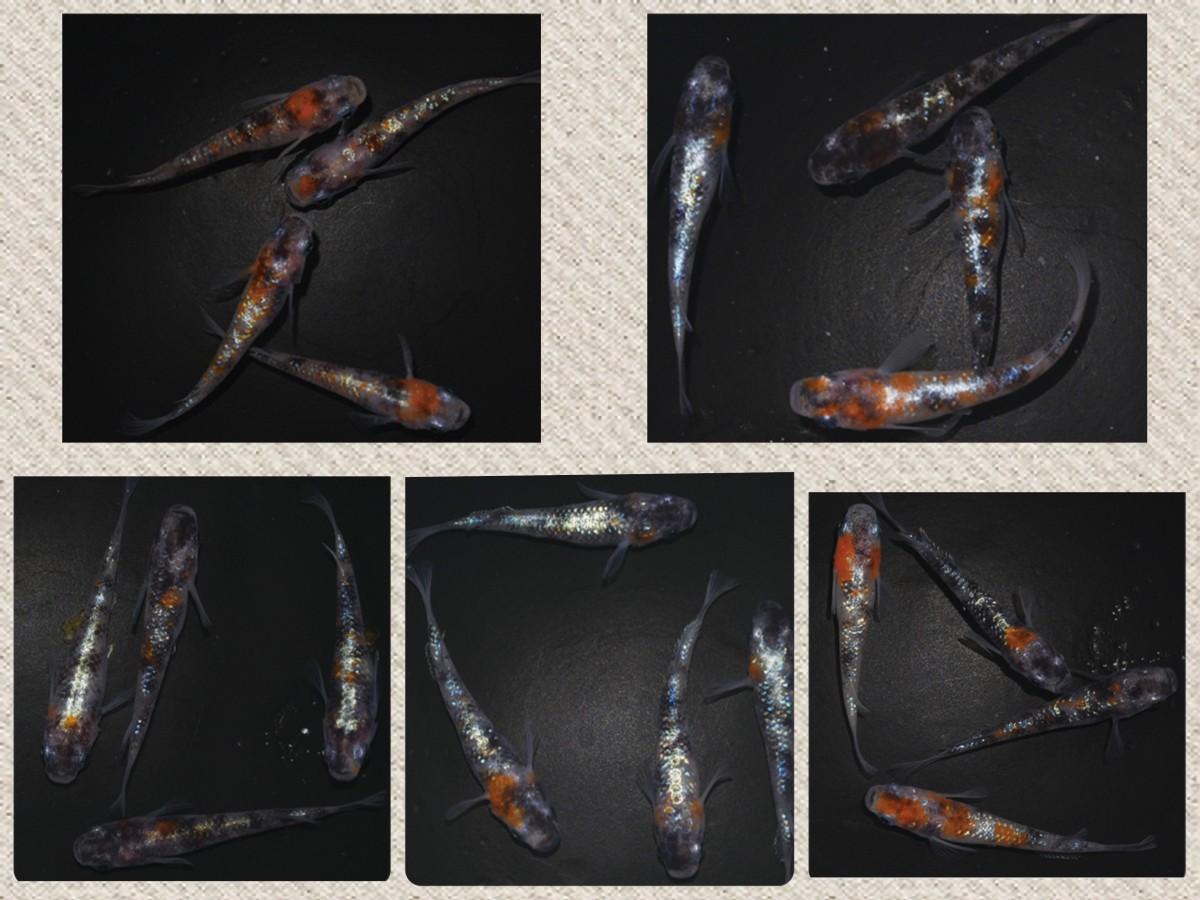 【メダカエイト】極上 三色ラメ幹之 メダカ 体外光タイプ 有精卵 10個+α 静楽庵様直接購入個体5