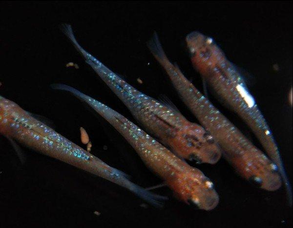 オーロラ黄ラメ1