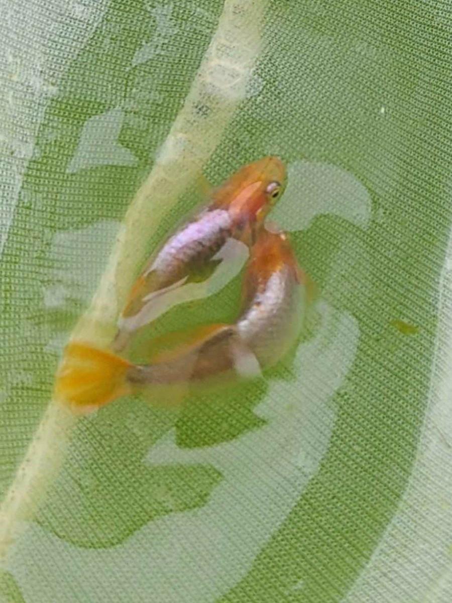 プラチナヒカリ体型画像から生まれた 稚魚15匹1